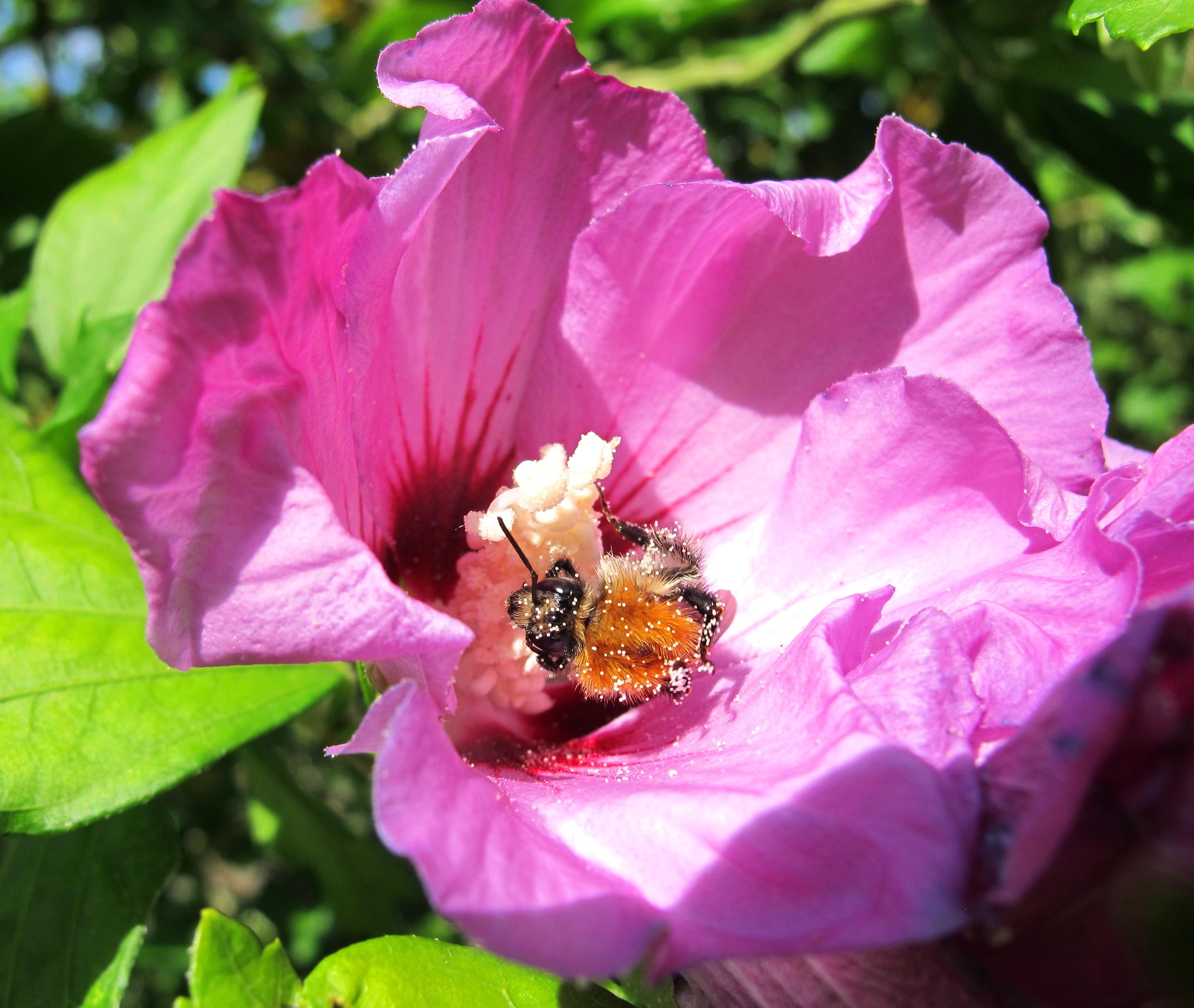 bombus couvert de pollen dans une fleur d 39 hibiscus urbanbees. Black Bedroom Furniture Sets. Home Design Ideas