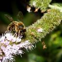 abeille sur fleur de menthe