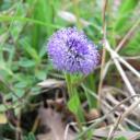 Gobulaire en fleur