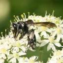 """Andrène """"la plus agile""""  (Andrena agilissima)"""
