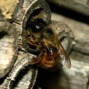 Osmie rousse femelle fermant son nid