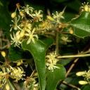 Salsepraeille (Smilax aspera) : l'herbe aux Schtroumpfs