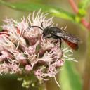 Sphecodes femelle sur une fleur d'eupatoire chanvrine