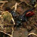 Sphecodes femelle à la sortie du nid parasité