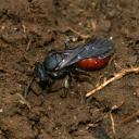 Abeille coucou (Sphecodes sp.)