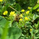 Abeille des ruches butinant au petit matin