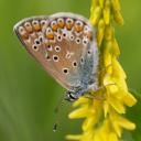 Papillon - Azuré