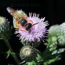 Le philanthe apivore, European beewolf (Philanthus triangulum)
