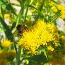 Abeille sauvage sur fleur de verge d'or
