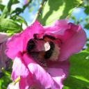 Bombus couvert de pollen dans une fleur d'hibiscus