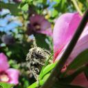 Bombus couvert de pollen, fleur d'hibiscus