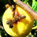 Abeilles mellifères butinant une prune