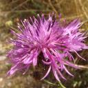 Cirse des champs (Cirsium arvense)