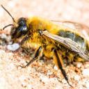Repos de l'abeille