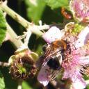 Andrena haemorrhoa femelle