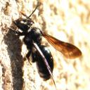 Andrena agilissima...?
