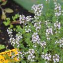 Thym en jardinière et abeilles