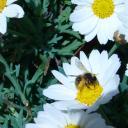 gorgée de pollen
