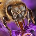 Quand une abeille trouve un liquide sucre