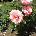 Deux amoureux sur une rose