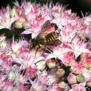 Megachile centuncularis femelle