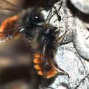 Osmia cornuta mâles dans l'attente de la sortie d'une femelle