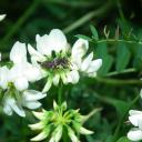 Coelioxys sp. mâle