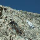 Megachile ericetorum mâle