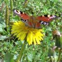 Papillonner sur les pissenlits...